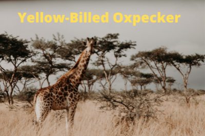 Yellow Billed Oxpecker 2022