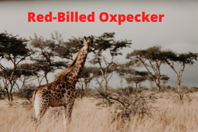 Red Billed Oxpecker 2022 (Waiting List)