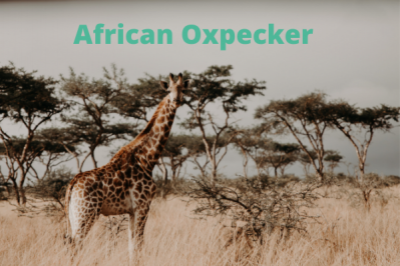 African Oxpecker 2022